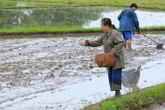 Farmers are sowing paddy for rice cultivation. On first step of rice cultivation in Thailand royalty free stock images