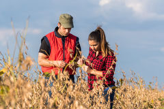 Farmers in soybean fields before harvest Royalty Free Stock Image