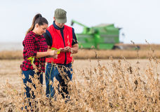 Farmers in soybean fields before harvest. Young farmers in soybean fields before harvest Stock Image