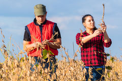 Farmers in soybean fields before harvest Royalty Free Stock Images