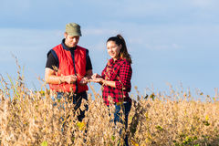 Farmers in soybean fields before harvest Stock Images