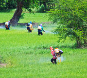 Farmers spray insecticide in rice field Royalty Free Stock Images