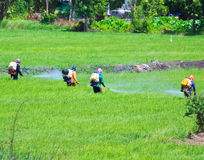 Farmers spray insecticide in rice field Royalty Free Stock Photography