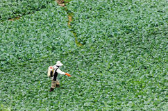 Farmers spraying. Pesticides in cabbage Stock Photography