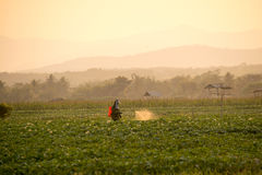 Farmers are spraying pesticides  in potato fields Royalty Free Stock Photo