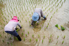 Farmers with straw hat transplanting rice seedlings in paddy field Stock Images