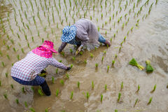 Farmers with straw hat transplanting rice seedlings in paddy field Royalty Free Stock Image