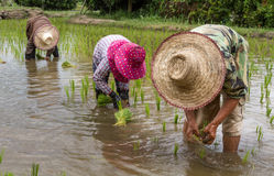 Farmers with straw hat transplanting rice seedlings in paddy field Royalty Free Stock Images