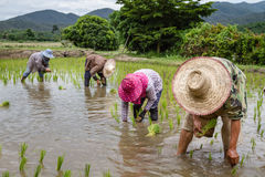 Farmers with straw hat transplanting rice seedlings in paddy field Stock Photos