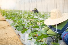Farmers take care of the melon seedlings or cantaloupe on organic farms royalty free stock photo