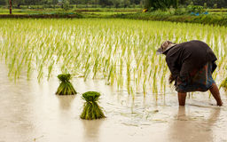 Farmers in thailand Royalty Free Stock Image