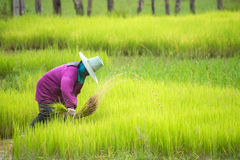 Farmers transplant rice in a field in Thailand Royalty Free Stock Photography