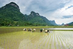 Farmers are transplanting rice in Bac Son. Lang Son, Vietnam royalty free stock photography