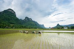 Farmers are transplanting rice in Bac Son. Lang Son, Vietnam royalty free stock photo