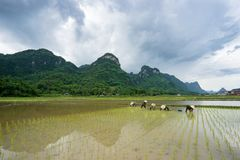 Farmers are transplanting rice in Bac Son. Lang Son, Vietnam stock photos