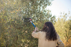 Farmers using olive picking tool while harvesting Stock Photos