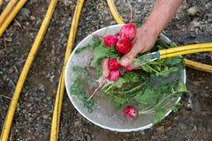 Farmers washing freshly picked radishes Stock Photo