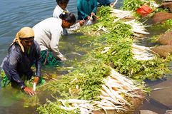 Farmers washing white radish. In natural water stream Royalty Free Stock Images