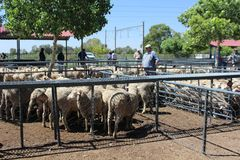 Farmers watching the sheep in enclosures at an auction of livestock in Bloemfontein, South Africa stock image