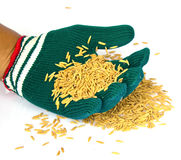 Farmers wear gloves and rice grain Royalty Free Stock Images