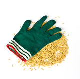 Farmers wear gloves and rice grain Royalty Free Stock Photo