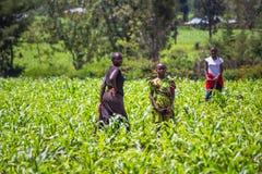 Farmers weeding Royalty Free Stock Image