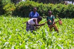 Farmers weeding Stock Photos