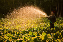 Farmers were growing tobacco in a converted tobacco growing in the country, thailand. royalty free stock photo