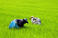 Farmers at work in the rice field Stock Photos