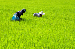 Farmers at work. SUPANBURI, THAILAND - MAY 21: Two farmers work at a rice field in Suphanburi province, Thailand on May 21, 2008. Suphanburi is a big rice Royalty Free Stock Photo