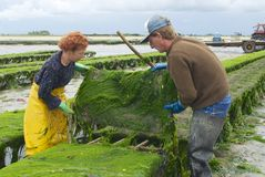 Farmers work at oyster farm in Grandcamp-Maisy, France. Royalty Free Stock Photography