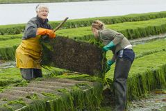 Farmers work at oyster farm at low tide in Grandcamp-Maisy, France. Royalty Free Stock Photo