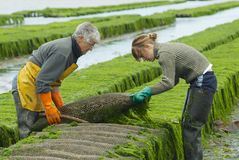Farmers work at oyster farm at low tide in Grandcamp-Maisy, France. Royalty Free Stock Image