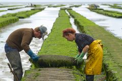 Farmers work at oyster farm at low tide in Grandcamp-Maisy, France. Royalty Free Stock Photos