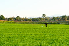 A farmers work in the paddy field to spray fertilizer Stock Images