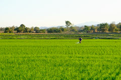 A farmers work in the paddy field to spray fertilizer Royalty Free Stock Images