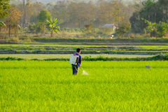 A farmers work in the paddy field to spray fertilizer Royalty Free Stock Image