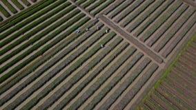 Farmers work at red onion farmland stock video footage