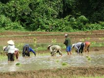 Farmers work at rice field Royalty Free Stock Image
