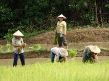 Farmers work at rice field Stock Images