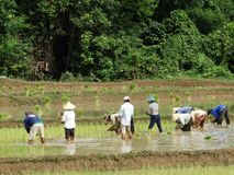 Farmers work at rice field Stock Photo