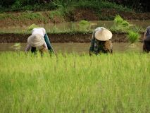 Farmers work at rice field Royalty Free Stock Photography