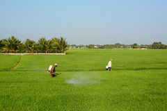 Farmers work on rice field Stock Images