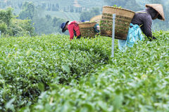 Farmers work on tea field, Bao Loc, Lam Dong, Vietnam Royalty Free Stock Photography