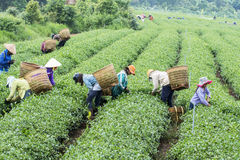 Farmers work on tea field, Bao Loc, Lam Dong, Vietnam Royalty Free Stock Images