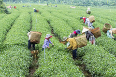 Farmers work on tea field, Bao Loc, Lam Dong, Vietnam Royalty Free Stock Image