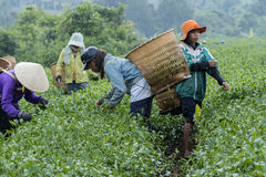 Farmers work on tea field, Bao Loc, Lam Dong, Vietnam Royalty Free Stock Photos