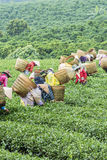 Farmers work on tea field, Bao Loc, Lam Dong, Vietnam Royalty Free Stock Photo