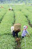 Farmers work on tea field, Bao Loc, Lam Dong, Vietnam Royalty Free Stock Photos