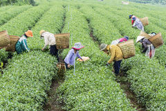 Farmers work on tea field, Bao Loc, Lam Dong, Vietnam Stock Images